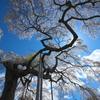 外大野の枝垂桜