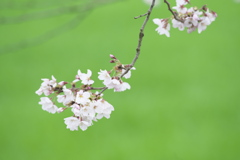 磯部公園の桜  壱