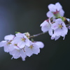 雨に咲く桜