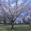 磯部公園の桜 D