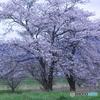 人知れず咲く桜