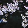 磯部公園の桜 C