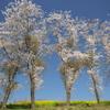 亀岡八幡宮の菜の花と桜 い