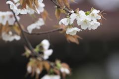 磯部公園の桜 弐