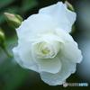 公園に咲いていた白いバラ