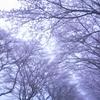 霧の桜並木