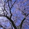 光明寺の枝垂れ桜
