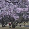 公園の桜 い
