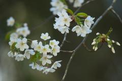 縁結びの桜