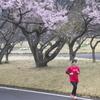 公園の桜  ろ