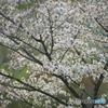 観音沼の春 ろ