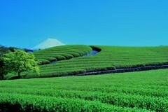 静岡茶 2021.4.30_2