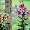 ダイナランドゆり園:白樺とカサブランカ
