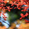 ドウダンツツジの紅葉4