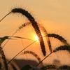 ネコジャラシの夕陽