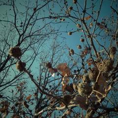繭のなる樹