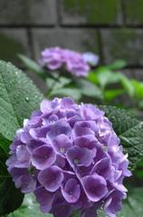 雨露に濡れた紫陽花