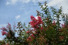 夏の花 百日紅-1