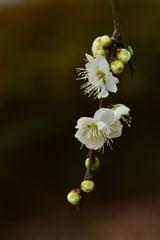 緑萼枝垂れー2