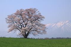 小岩井の一本桜