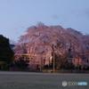 杵原学校の枝垂れ桜 ライトアップ