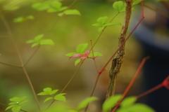 庭の小さな紅葉