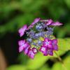 紫陽花シーズン