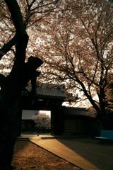 お寺桜-1