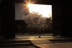 お寺桜-2