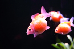 水中を駆ける金魚