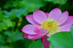 ゆめさき蓮の花苑