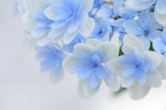 紫陽花日記1
