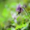 弦谷カタクリの花群落