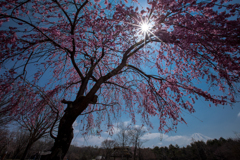 富士と桜...???