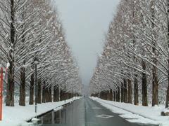 高島市 メタセコイア並木 冬 2月#2