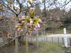 楊貴妃桜はあと少し