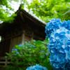 御堂と紫陽花