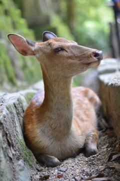涼む鹿さん