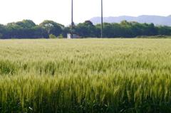 癒しの麦畑