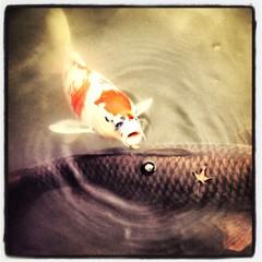 国宝の地の鯉