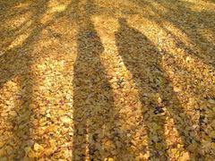 イチョウと紅葉のじゅうたん