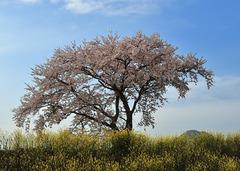 湖北町の桜