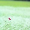 蕎麦の花が咲くころ