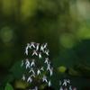 木陰のユキノシタ