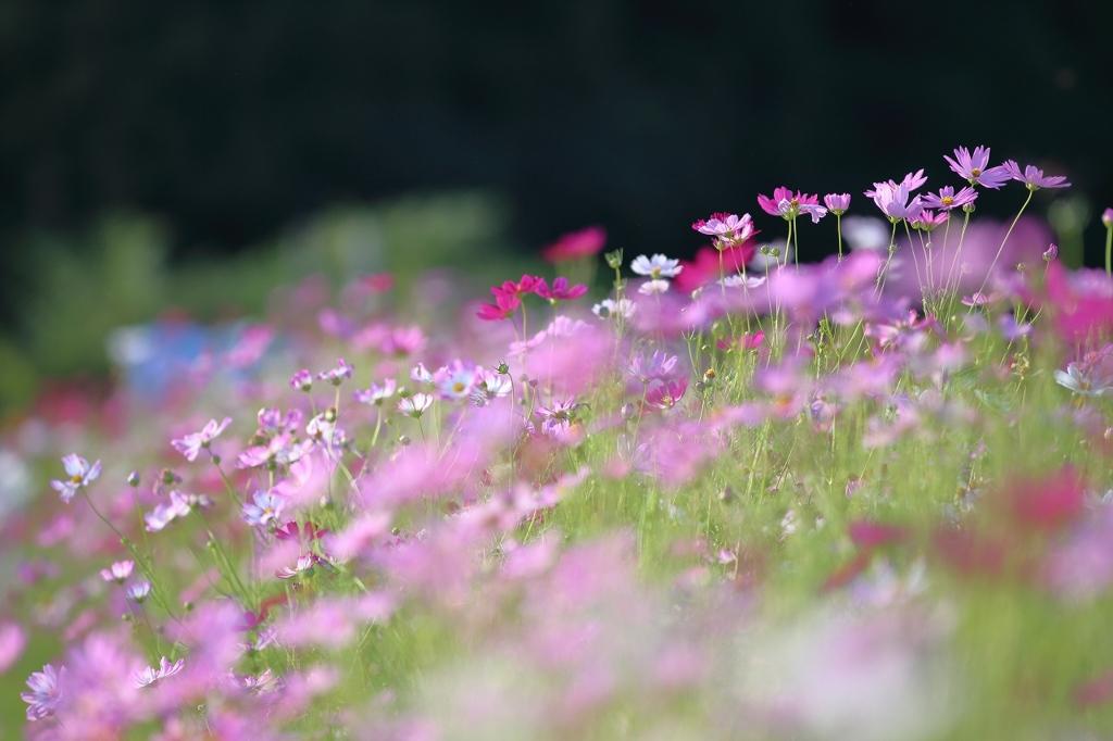 Sさん家の秋桜畑