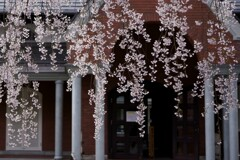 寂しき 桜