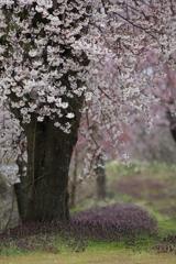 プレイバック 桜