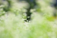 蕎麦の花の季節が