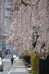 いきなり桜
