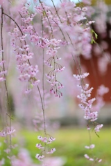 あゝ桜よ Ⅱ